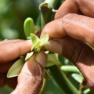 Grüne Vanilleblüte in zwei Händen gehalten